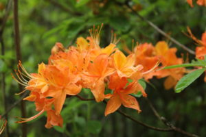 Native Flame Azaleas Light up the Mountains